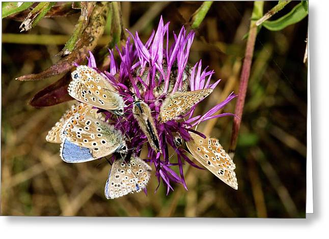 Adonis Blue Butterflies On Knapweed Greeting Card by Bob Gibbons