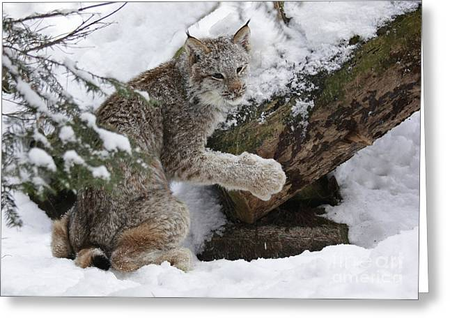 Adorable Baby Lynx In A Snowy Forest Greeting Card by Inspired Nature Photography Fine Art Photography