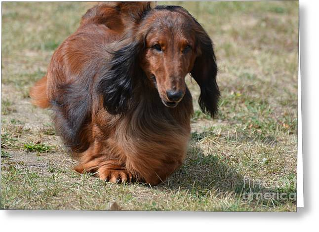 Adorable Long Haired Daschund Dog Greeting Card