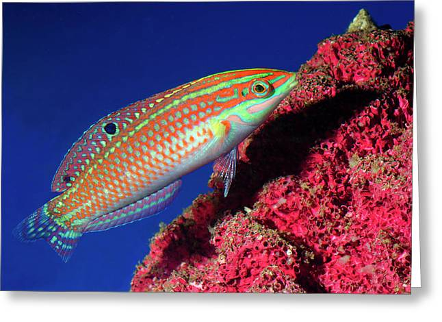 Adorned Wrasse Greeting Card