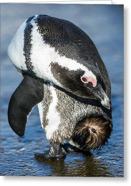 Adult African Penguin Preening Greeting Card