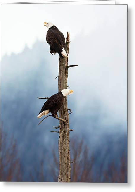 Adult Bald Eagles  Haliaeetus Greeting Card by Doug Lindstrand