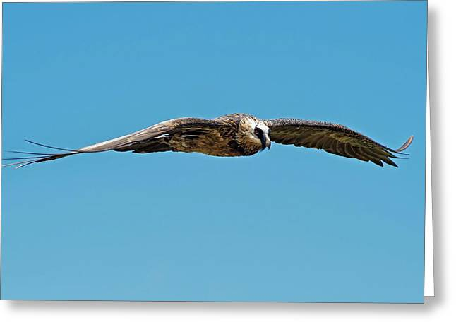 Adult Bearded Vulture In Flight Greeting Card by Tony Camacho