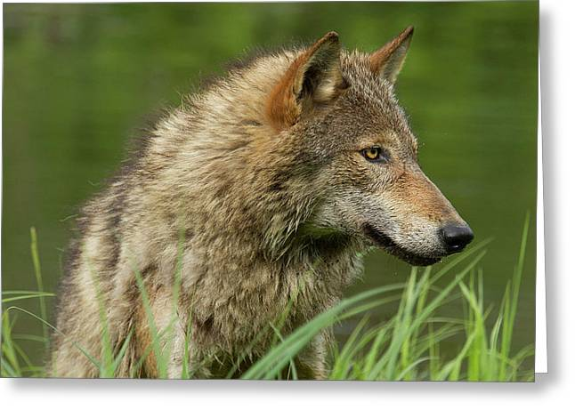 Adult Coyote Canis Latrans Greeting Card by Debbie Dicarlo