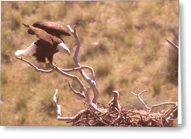 Adult Eagle With Eaglet  Greeting Card by Jeff Swan