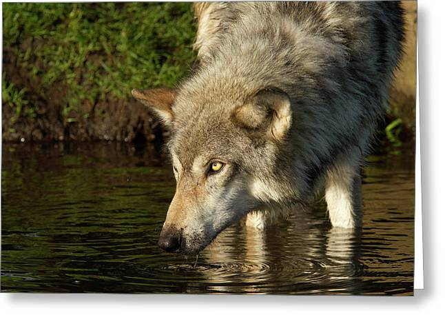 Adult Grey Wolf Canis Lupus Greeting Card