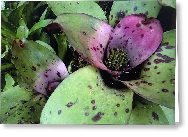 Aechmea Fulgens Plants Greeting Card by Science Photo Library