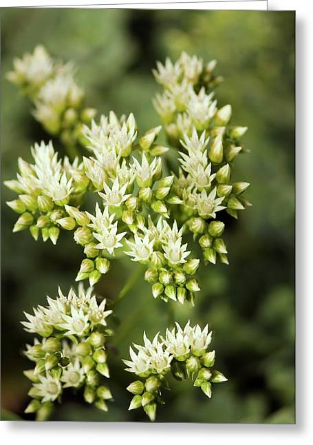 Aeonium Gomerense Greeting Card