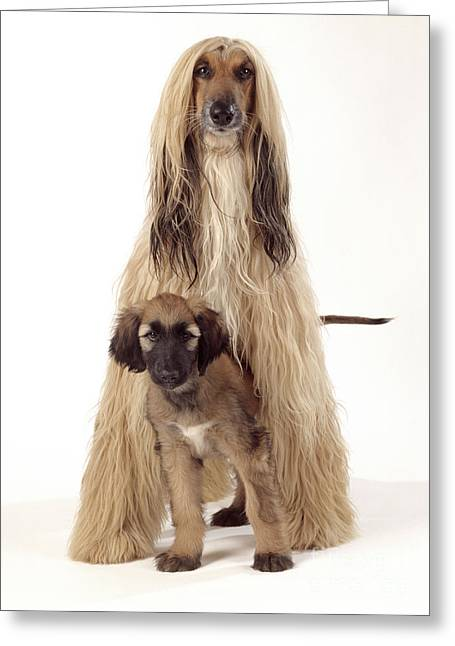 Afghan Hound And Puppy Greeting Card by John Daniels