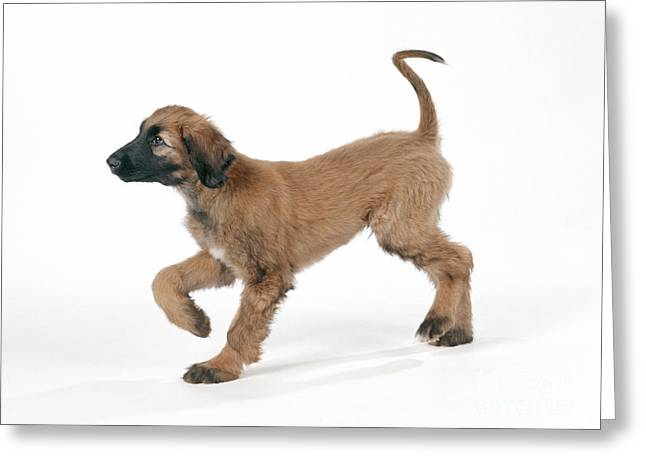 Afghan Hound Puppy Greeting Card