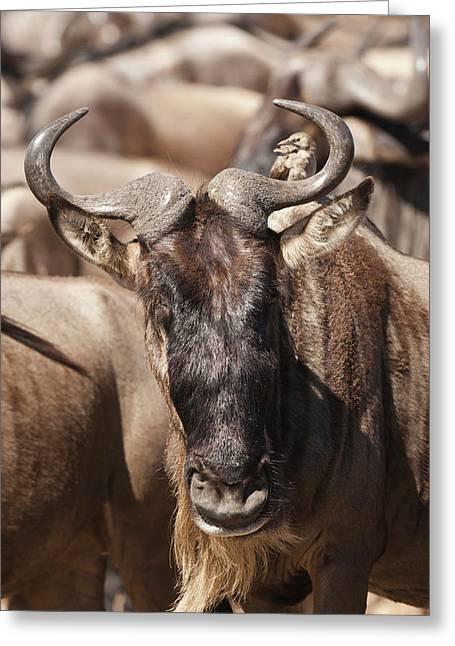 Africa, Kenya, Masai Mara Gr, Lower Greeting Card