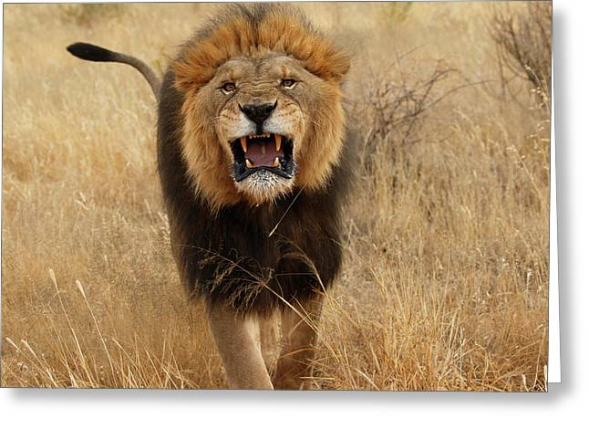 Africa, Namibia Aggressive Male Lion Greeting Card