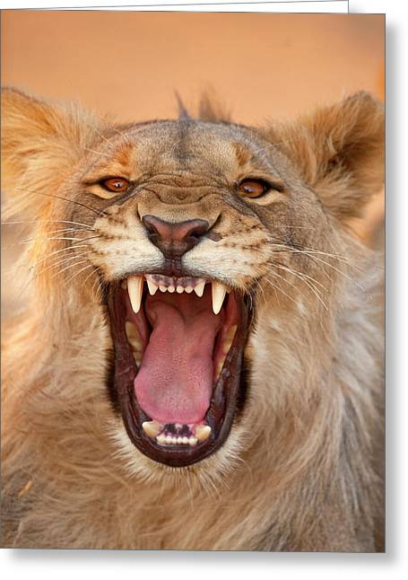Africa, Namibia Male Lion Growling Greeting Card