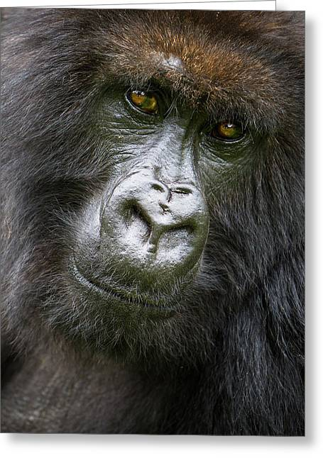 Africa Rwanda Female Mountain Gorilla Greeting Card