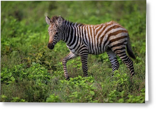 Africa Tanzania Zebra (equus Quagga Greeting Card