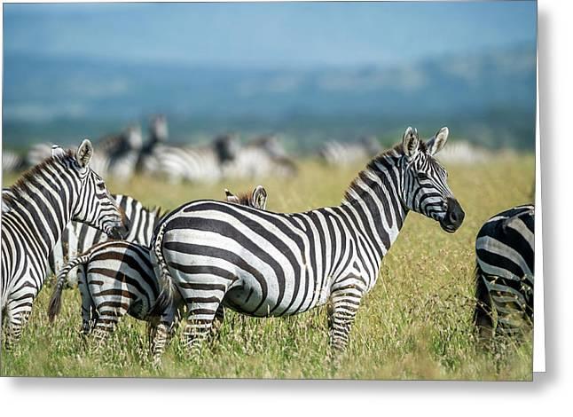Africa, Tanzania, Zebras Greeting Card