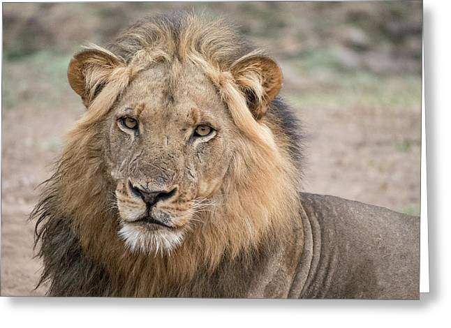 Africa, Zambia Alert Adult Lion Credit Greeting Card