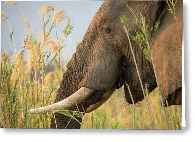 Africa, Zambia Close-up Of Elephant Greeting Card