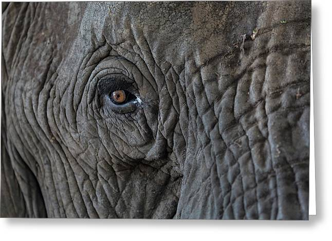 Africa, Zambia Close-up Of Elephant's Greeting Card