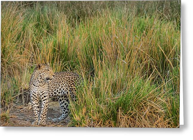 Africa, Zambia Close-up Of Leopard Greeting Card