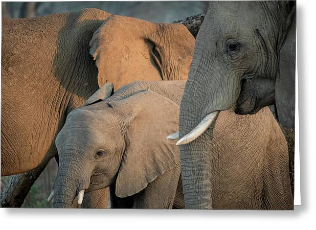 Africa, Zambia Elephant Adults Greeting Card