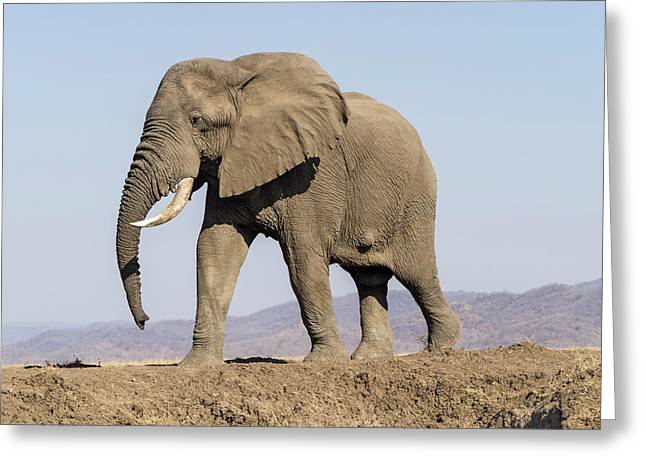 Africa, Zambia Elephant Atop Hill Greeting Card
