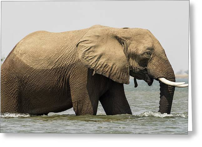 Africa, Zambia Elephant In Zambezi Greeting Card