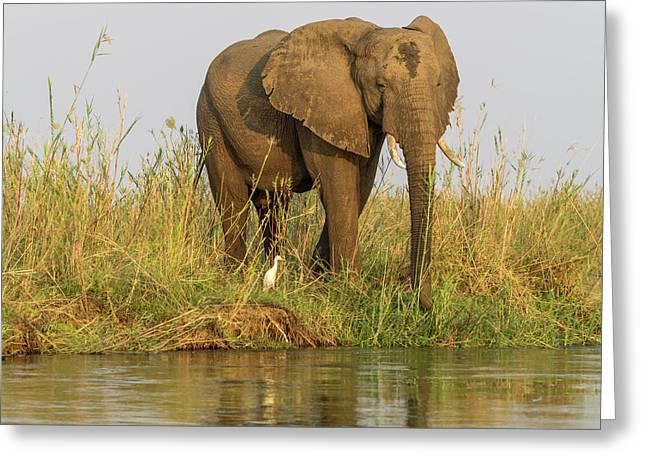 Africa, Zambia Elephant Next To Zambezi Greeting Card