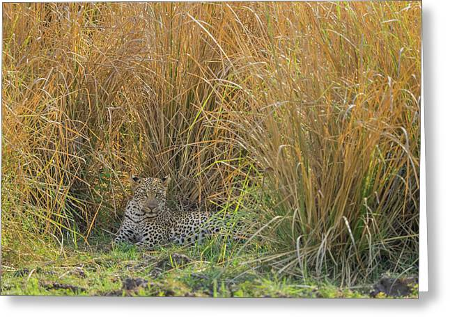 Africa, Zambia Leopard Resting In Grass Greeting Card