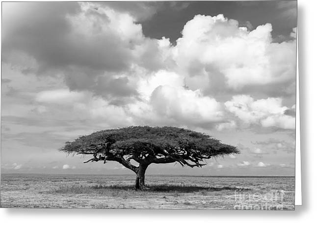 African Acacia Tree Greeting Card