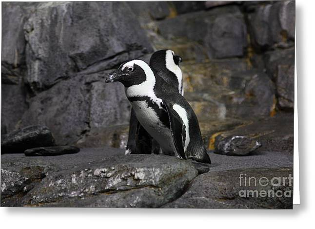 African Blackfooted Penguin 5d24860 Greeting Card