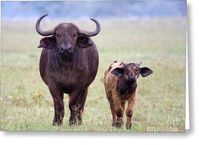 Greeting Card featuring the photograph African Buffalo And Calf by Chris Scroggins