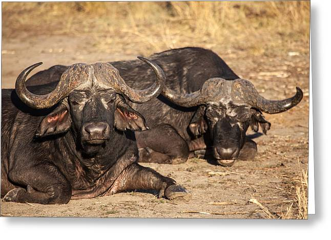 African Buffalo Greeting Card by Craig Brown