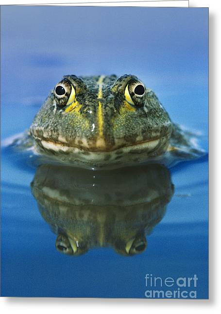 African Bullfrog Greeting Card by Frans Lanting MINT Images