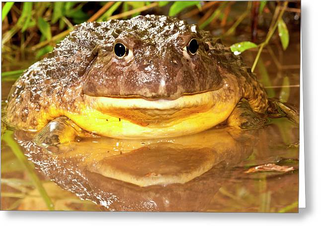 African Burrowing Bullfrog Greeting Card by David Northcott