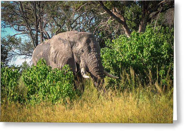 African Bush Elephant Greeting Card