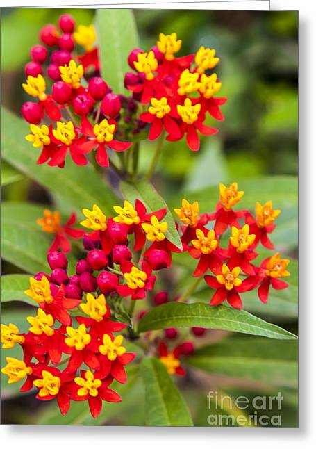 African Butterfly Weed Greeting Card