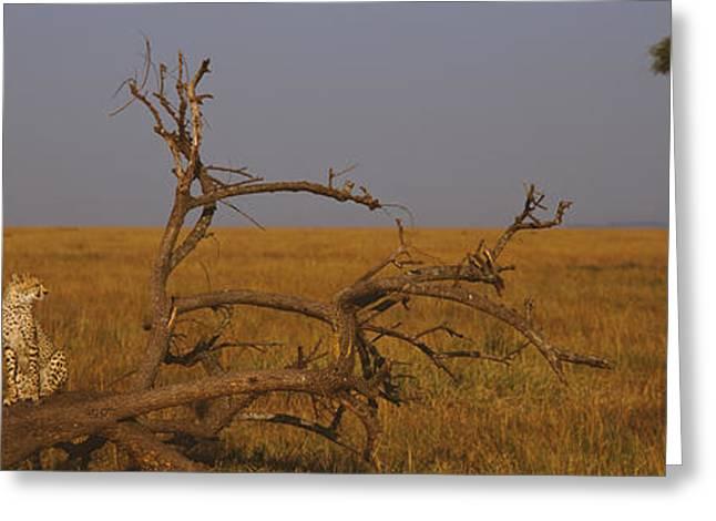 African Cheetah Acinonyx Jubatus Greeting Card by Panoramic Images