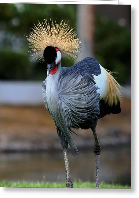 African Crowned Crane Running Greeting Card