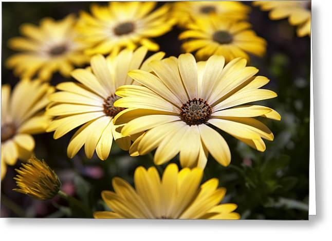 African Daisies Greeting Card by Caitlyn  Grasso
