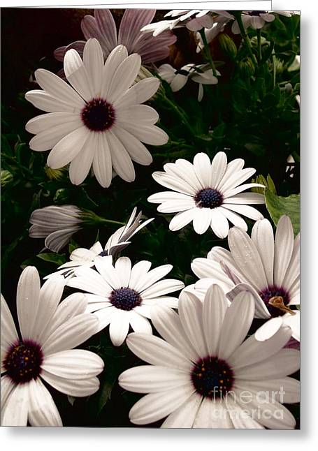 Greeting Card featuring the photograph African Daisies by Debi Dmytryshyn