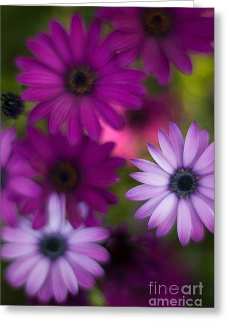 African Daisy Collage Greeting Card by Mike Reid