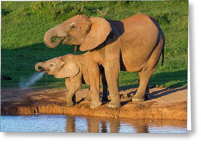 African Elephant And Calf Drinking Greeting Card