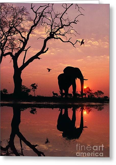 African Elephant At Dawn Greeting Card by Frans Lanting MINT Images