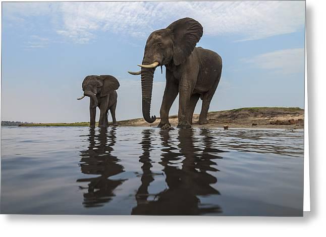 African Elephant Bulls Along Chobe Greeting Card by Vincent Grafhorst