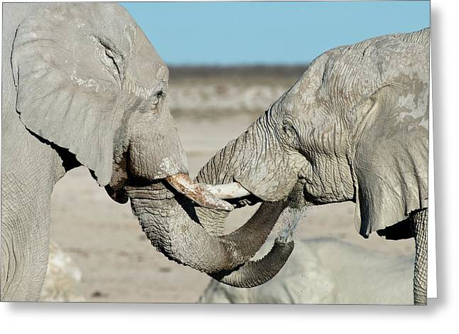 African Elephant Bulls Drinking Water Greeting Card