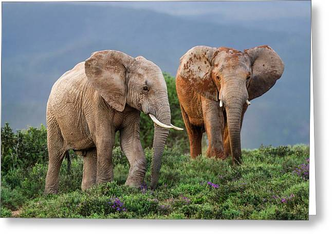 African Elephant Bulls Fighting Greeting Card