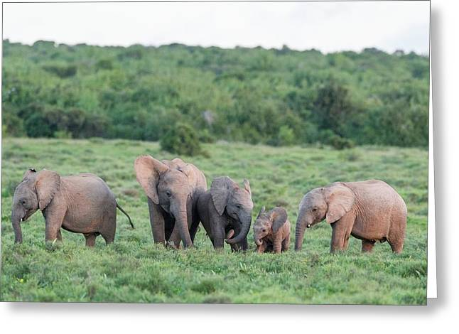 African Elephant Calves Greeting Greeting Card