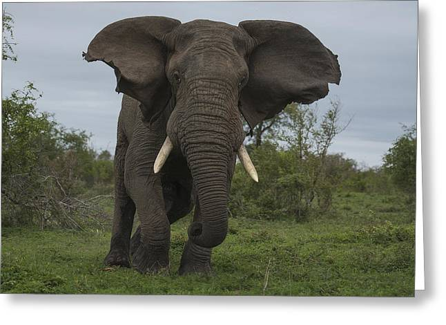 African Elephant Charging Sabi-sands Greeting Card by Sergey Gorshkov