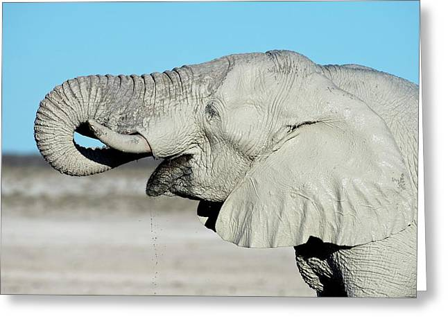 African Elephant Drinking Water Greeting Card
